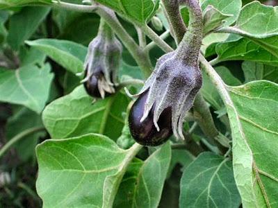 cultivar Berenjenas