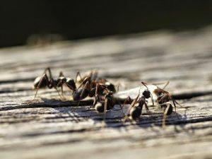Como eliminar las hormigas