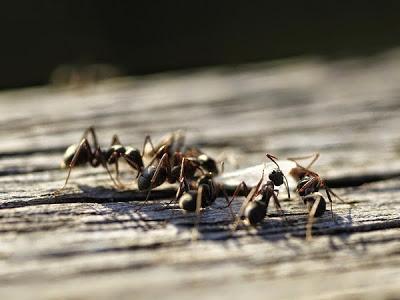 Como eliminar las hormigas con remedios caseros la huerta de ivan - Como eliminar hormigas del jardin ...