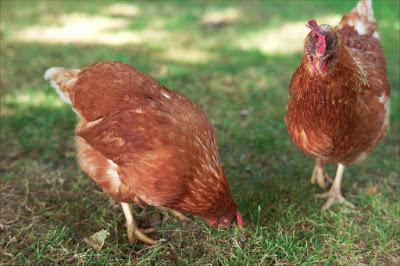 Como criar gallinas
