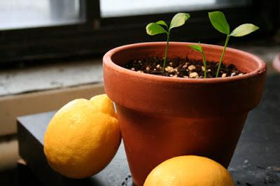 semilla limon