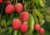 germinar y plantar lichis