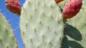 cultivo nopal o chumbera