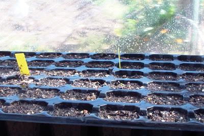semillero tomate