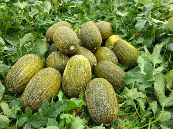 Como cultivar melon