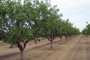 plantar pistachos