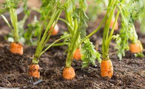 como sembrar zanahorias