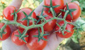 tomate hibrido f1