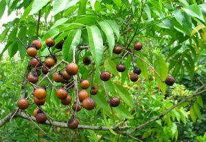 árbol que produce Jabón