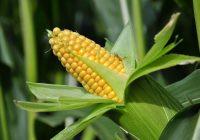 sembrar maíz