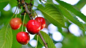 como plantar un cerezo