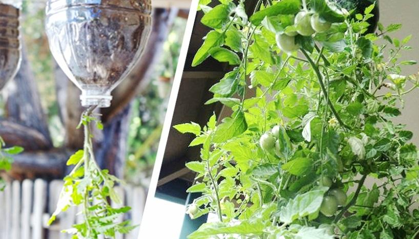 plantar tomates en botellas