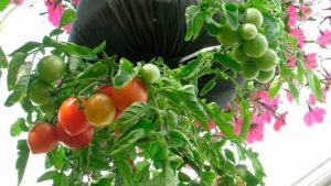 tomate botella colgante