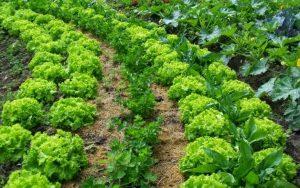 la asociacion de cultivos