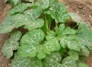 cultivar Calabazas