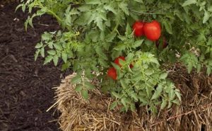 tomates balas de paja