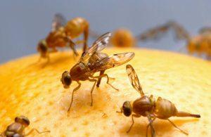 trampa mosca de la fruta