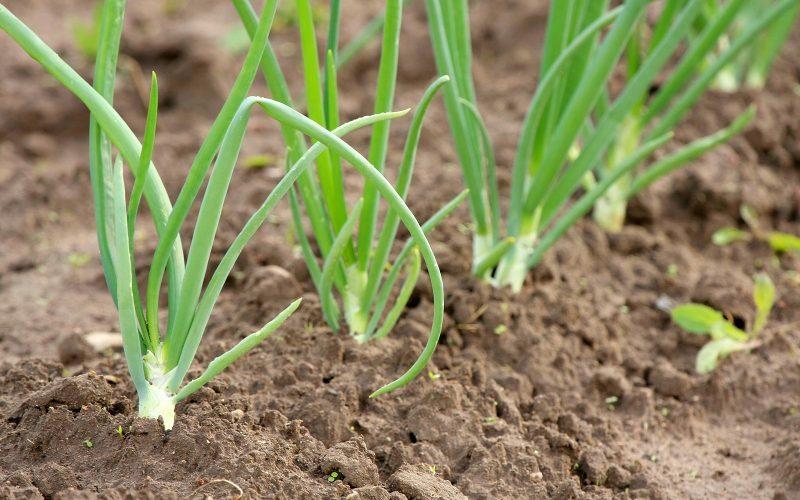 El cultivo de la cebolla