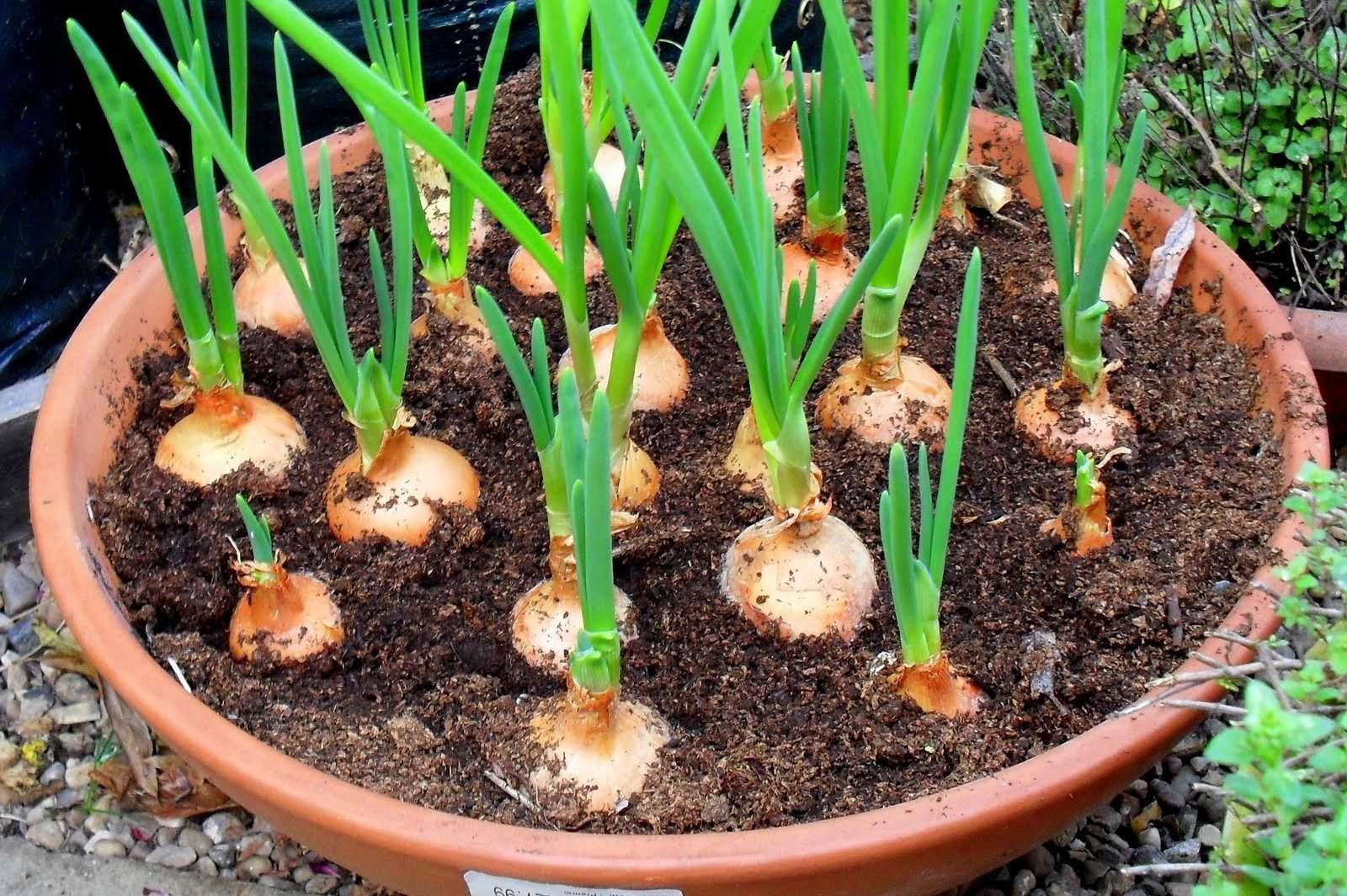 Como sembrar ajos en el huerto urbano la huerta de ivan - Que plantar en el huerto ...