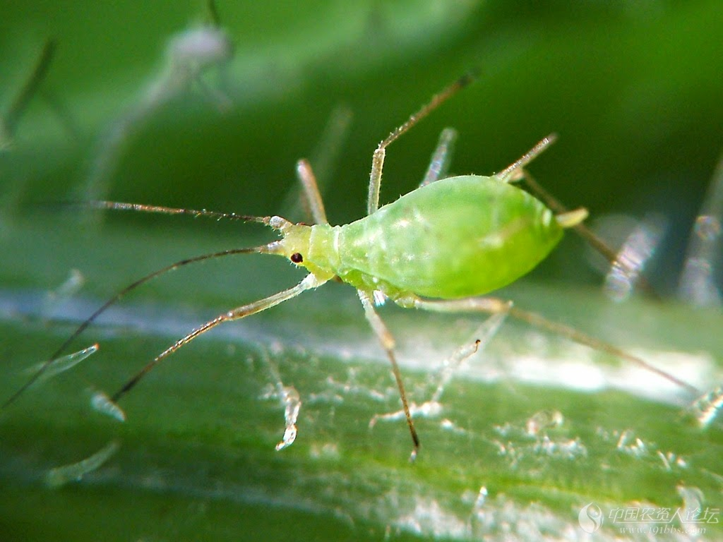 Pulgón verde, como combatirlo