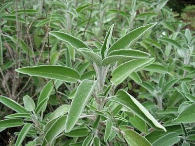 cultivo de la Salvia