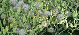 semilla de lechuga