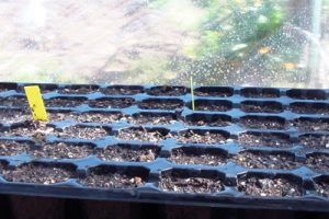 semillero brócoli