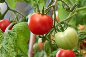 tomate huerto