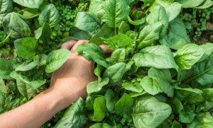 cultivar espinacas en maceta
