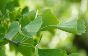 hojas-sanas-ginko-planta-china_121-49880