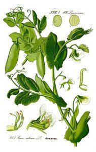 cultivo guisantes