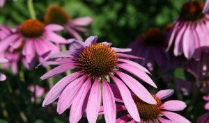 Equinacea purpurea
