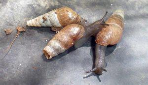 Lucha biologica contra Caracoles y Babosas