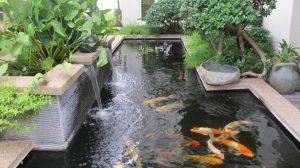 peces koi estanque