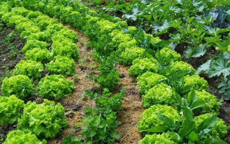 Asociaci n de cultivos en el huerto la huerta de ivan Asociaciones de cultivos favorables