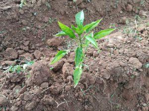cultivo suelo arcilloso