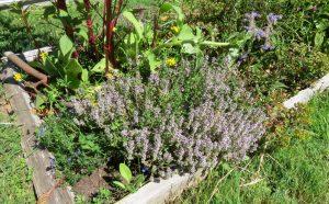 cultivar tomillo