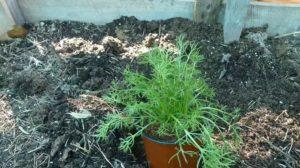 plantar manzanilla