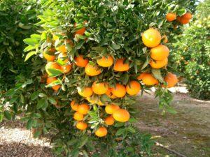 plantar un naranjo