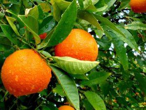cultivar naranjo