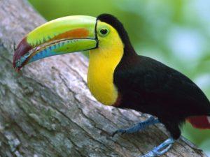 tucan aves exoticas
