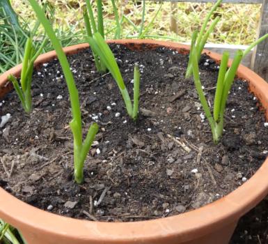 Como plantar cebollas en el Huerto Urbano