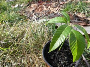 Como Sembrar y Plantar un Mango