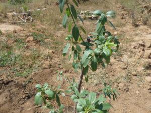 Nuevo método para plantar Arboles Frutales