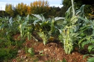 Cómo cultivar cardos en el huerto