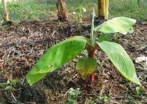 Circulo de Plataneras o Bananeras