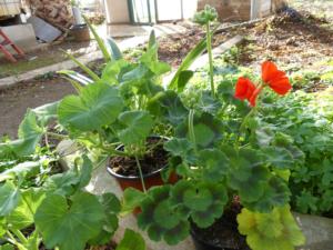 Cómo cultivar y reproducir Geranios