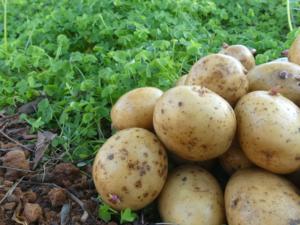 Como sembrar patatas o papas