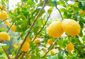 Todo sobre el cultivo del Limonero