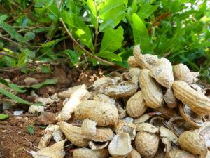 usos cascara cacahuete huerto o jardin